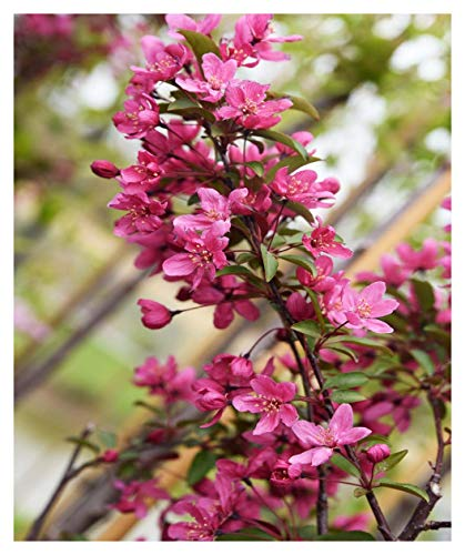 Prairie Fire Crabapple Tree - Established Roots - Flowering - 2 Gallon Potted by Grower's (Crabapple Trees)