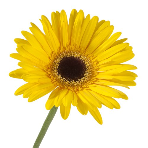 Wholesale Gerberas (70 Yellow) by eFlowy