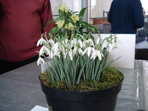 Galanthus nivalis Samen 200PCS Schneegl/öckchen Blumensamen Sch/öner Garten Einfrieren Pflanzen Bonsai Balkonblume