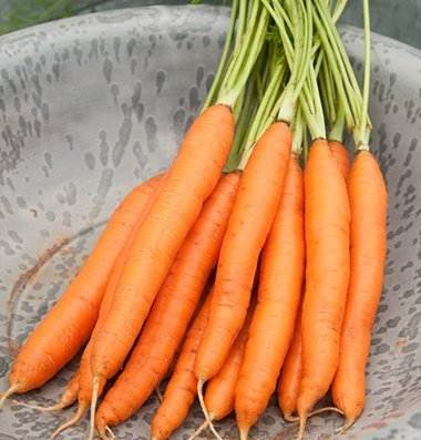 David's Garden Seeds Carrot Romance (Heat Tolerant) D3116A (Orange) 500 Hybrid Seeds