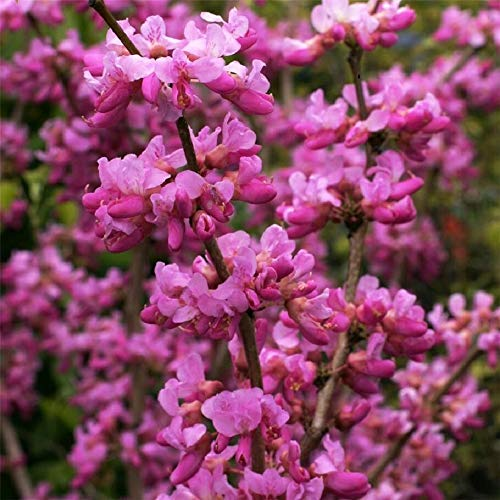 (500 Seeds Chinese Redbud Cercis Chinensis Flowering Judas Tree Bonsai Garden tksilver)