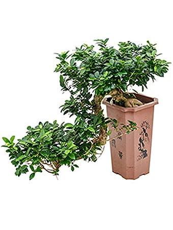 Ginseng Bonsai 60 80 Cm Im 27 27 43 Cm Topf Asiatische Zimmerpflanze