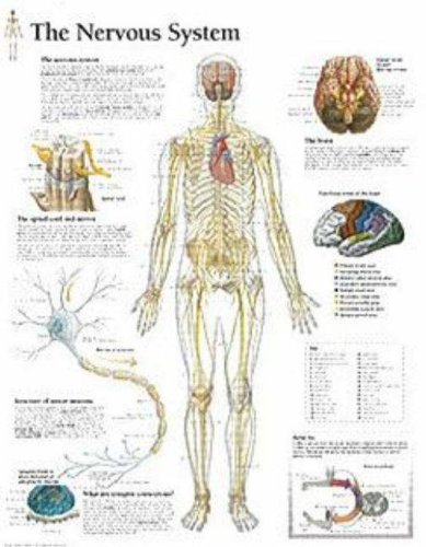 The Nervous System chart: Wall - Nervous System Chart Anatomical