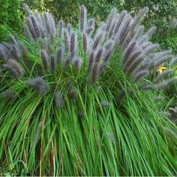 Outsidepride chinese fountain grass 100 for Blue fountain grass