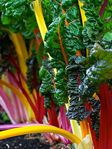 Swiss Chard Seeds- Heirloom Rainbow Mix- 100+ Seeds