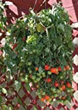 hanging tomato baskets - Tumbling Tom Red Tomato 25 Seeds Cascades of Tiny Cherry Tomatoes Hanging Down