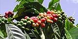 10 Coffea Plant Seeds (JAMAICAN BLUE MOUNTAIN Coffee) Grow Your Own Coffee tree!