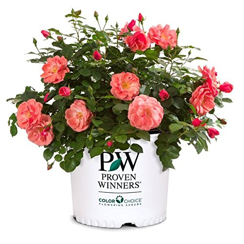 Proven Winners - Rosa OSO EASY Pink Cupcake (Rose) Rose, pink flowers, #2 - Size Container (Best Roses For Full Sun)