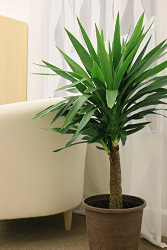 Yucca Cane in Pot Home Garden Plants Indoor Outdoor Plants ...