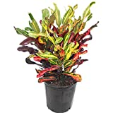 AMPLEX Mammy Croton Live Plant, 3 Gallon, Indoor/Outdoor