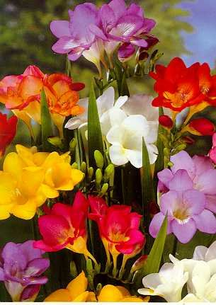Mixed Freesia 15 Bulbs - Indoors/Out - - Paper White Narcissus
