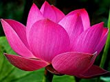 Bowl lotus/water lily flower /bonsai Lotus /ponds /5 Fresh seeds/Pink Colour