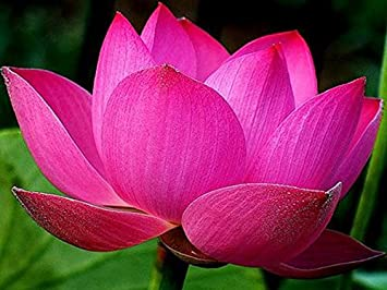 Bowl Lotuswater Lily Flower Bonsai Lotus Ponds 5 Fresh Seeds