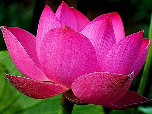 Bowl lotus/water lily flower /bonsai Lotus /ponds /5 Fresh seeds/Pink Colour