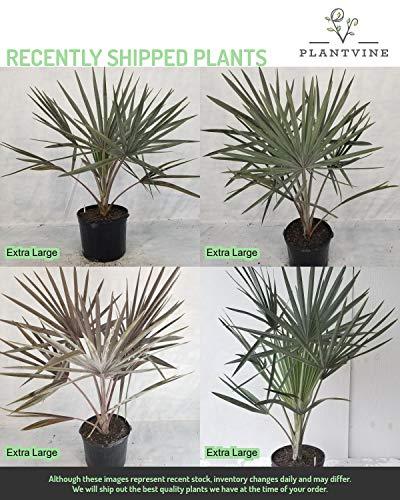 PlantVine Bismarckia nobilis 'Silver', Bismarck Palm - Extra Large - 12-14 Inch Pot (7 Gallon), Live Plant by PlantVine (Image #4)