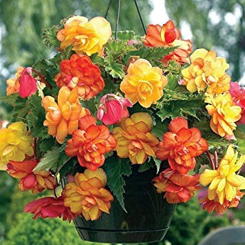 Begonia Bulbs,Golden Bolcony(2 Bulbs) One of the most popular perennials for shade ! by Caribbeangardenseed