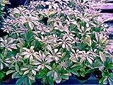 Schefflera Green Hedge/ShrubGreat Indoor Plant All Green Leaves