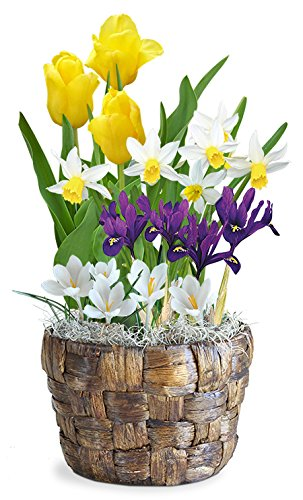 BloomingBulb 91158 Spring Glory Basket Pre-Planted Bulb Gift