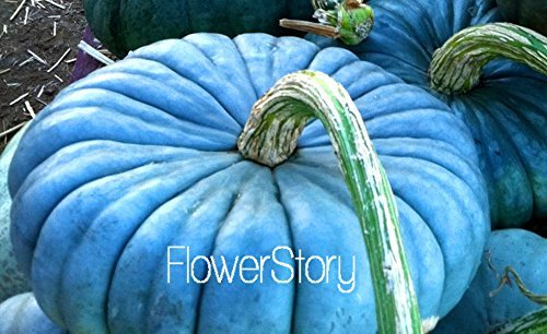 - Vegetable seeds 20PCS/pack Perennial Rare Ornamental edible Blue Jarrahdale Pumpkin seed exotic Blue grey Coloring,#FBJAQE