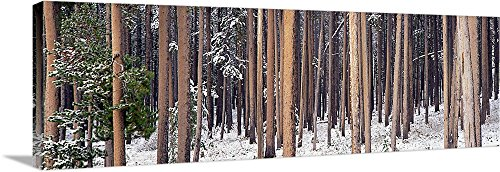 Canvas on Demand Premium Thick-Wrap Canvas Wall Art Print entitled Lodgepole Pines and Snow Grand Teton National Park WY 36