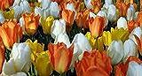 SILKSART Emperor Tulip Bulb, Jazz Mix, Stunning Perennial Tulips, 5 Bulbs, Large Flowers