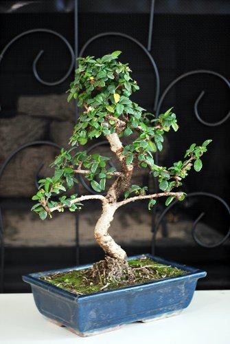 9GreenBox - 10 Ceramic Vase Imported Flowering Fukien Tea Indoor Bonsai Tree Flowering by Fukien_10
