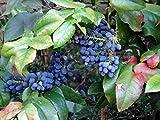 Oregon Holly Grape, Mahonia Aquifolium, Shrub 20 Seeds