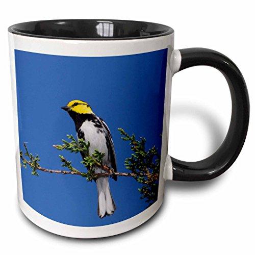 3dRose 84268_4 Golden-Cheeked Warbler Bird, Cedar, Texas-Na02 Rnu0146-Rolf Nussbaum Two Tone Black Mug 11 oz White (Nussbaum Outlets)