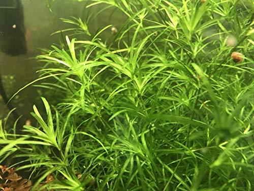 Live Guppy Grass Live Aquarium Plant (Najas guadalupensis)