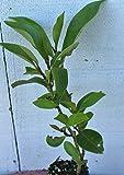 Banana Shrub Bush Michelia Figo ~ Live Starter Plant