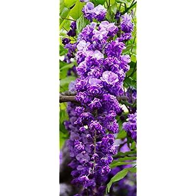 BLACK DRAGON WISTERIA - DOUBLE FLOWERING FRAGRANT VINE 3 - YEAR PLANT : Garden & Outdoor