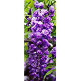 BLACK DRAGON WISTERIA - DOUBLE FLOWERING FRAGRANT VINE 2 - YEAR LIVE PLANT