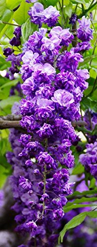 Black Dragon Wisteria - Double Flowering Fragrant Vine 2 - Year Live Plant by Japanese Maples and Evergreens