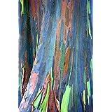 35 seeds of Eucalyptus deglupta, Rainbow-Tree, Rainbow-Gum, Rare viable seeds
