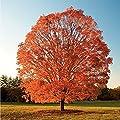100 Seeds - Sugar Maple Tree Seeds, Acer saccharum, Make Maple Syrup, Maple Tree Seeds