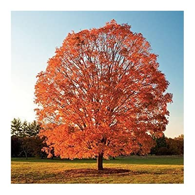100 Seeds - Sugar Maple Tree Seeds, Acer saccharum, Make Maple Syrup, Maple Tree Seeds : Garden & Outdoor