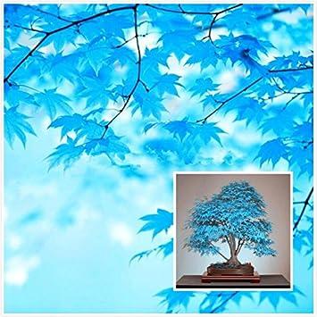 Grosse Verkaufe 20pcs Blau Ahornsamen Chinesische Seltene Blaue