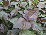 Herb Seeds 15G-Shiso Perilla Frutescens Green & Red Seeds Chinese Specialty Herb Sesame Leave Organic Non-GMO Vegetable Garden Seeds For Planting (Shiso Seeds)