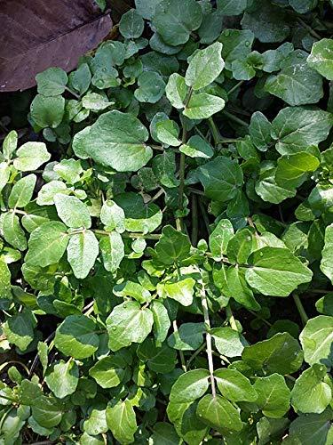 2740 Seeds of Nasturtium officinale, Watercress, 0.5 g ()