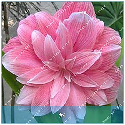 Amazon.com & ZLKING 1 Pcs/Pack Big True Amaryllis Bulbs Indoor and Outdoor Potted Flowers Plants Flower Bulb Bonsai Survival Rate is High 4