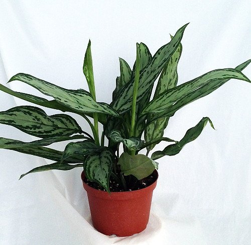 Silver Queen - Plant - Aglaonema - Low Light - 6