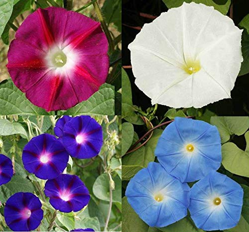 Day & Night Blooming Morning Glory Seed Mix Rare W/Moonflower Vine! #ST23 (1lb, 10, 900 Seeds)