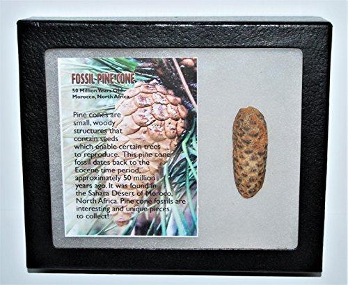 Pine Cone Fossil w/ Display Box LDB 50 Million Yrs Old COA #13288 13o (Fossil Display)