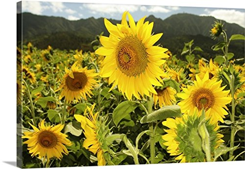 Vince Cavataio Premium Thick-Wrap Canvas Wall Art Print entitled Hawaii, Oahu, North Shore, Sunflower Field 48''x32'' by Canvas on Demand