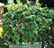Raspberry Plants- Nova - Summer Bearing (3 Bare Root Plants) - Delicious Super Sweet Berries! Best in Zones: 3 - 8 Raspberries are one of the best sources of antioxidants!
