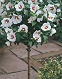 """-Bulk-  ROSE OF SHARON-White with Red Heart """"Hibiscus Syriacus""""  250+Perennial Seeds"""