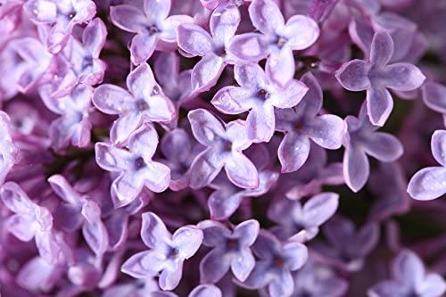 4 oz Lilac Blossom Home and Office Diffusers 1935 Soap Making Hair and Body Products Premium Fragrance Oil Candle Making
