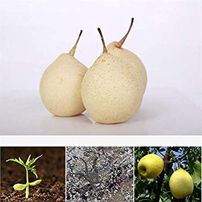 8 White Seeds: Asian Pear Chinese White Sand Pear, Pyrus Pyrifolia Live Tree Seeds 200 Seeds : Garden & Outdoor