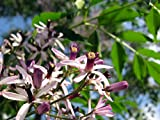 10 Chinaberry, Melia Azedarach, Tree Seeds (Fast, Showy, Fragrant)