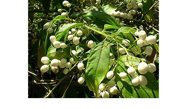 GEOPONICS Cetrum Nocturnum (Noche Jamine) 100 semillas: Amazon.es ...